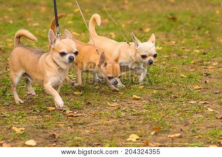 Three dogs in a row walk in the autumn park. Chihuahua dog Close-up. Space under the text. 2018 year of the dog in the eastern calendar Concept: parodist dogs, dog friend of man, true friends, rescuers.