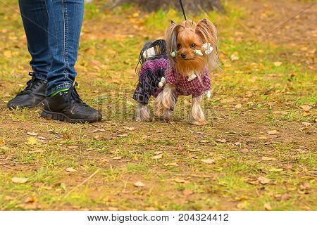 Yorkshire Terrier in curlers runs to the camera, green background. Space under the text. 2018 year of the dog in the eastern calendar Concept: parodist dogs, dog friend of man, true friends, rescuers.