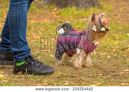 Yorkshire Terrier walk in the autumn park Close-up, green background. Space under the text. 2018 year of the dog in the eastern calendar Concept: parodist dogs, dog friend of man, true friends, rescuers.