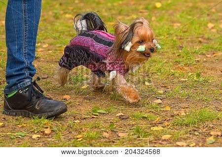 Yorkshire Terrier fluffy dog walks in the autumn park, green background. Space under the text. 2018 year of the dog in the eastern calendar Concept: parodist dogs, dog friend of man, true friends, rescuers.