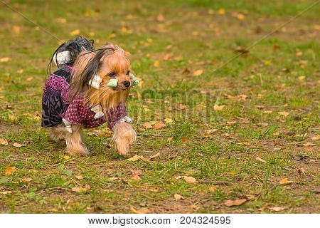 Yorkshire Terrier small fluffy dog walks in the autumn park, green background. Space under the text. 2018 year of the dog in the eastern calendar Concept: parodist dogs, dog friend of man, true friends, rescuers.