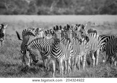 Group Of Zebras Starring At The Camera.