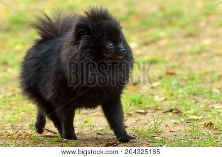 Black Spitz dog walking on autumn grass. Space under the text. 2018 year of the dog in the eastern calendar Concept: parodist dogs, dog friend of man, true friends, rescuers.