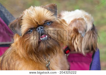 Belgian Griffon, Brussels Griffon, Petit Brabanson, decorative breeds of dogs, bred in Belgium close-up. Concept: cute, home, friend, love, affection, kindness, care. Space under the text. 2018 year of the dog in the eastern calendar