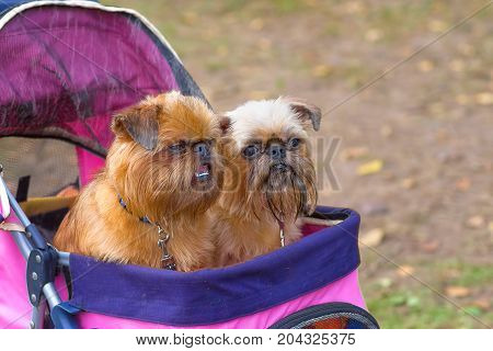 Two small shaggy doggy-eyed dogs are sitting in a pram. Belgian Griffon, Brussels Griffon, Petit Brabanson, decorative breeds of dogs, bred in Belgium close-up. Concept: cute, home, friend, love, affection, kindness, care. Space under the text. 2018 year