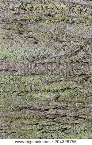 The bark of the old tree. Old oak.