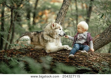 Little boy sits on fallen tree trunk in forest next to lying dog malamute and feeds him by food.