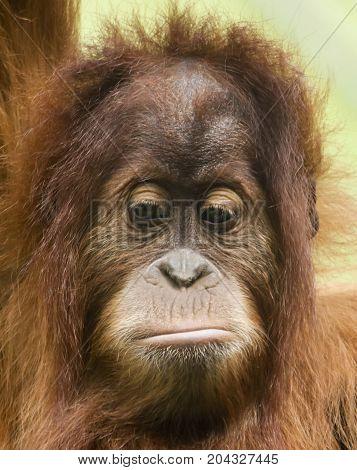 A Close Up Portrait of a Sad Young Orangutan