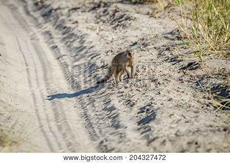 Slender Mongoose Standing In The Sand.