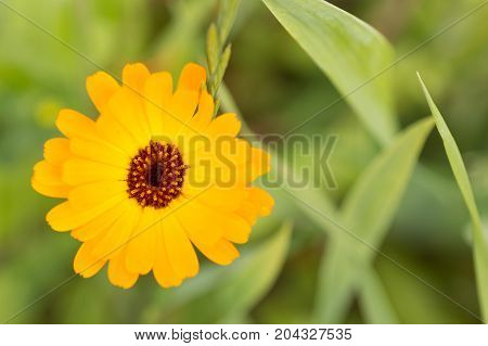 Flower Of Calendula On Blossom. Blurred Summer Background With Growing Marigold Flowers..solar Flowe