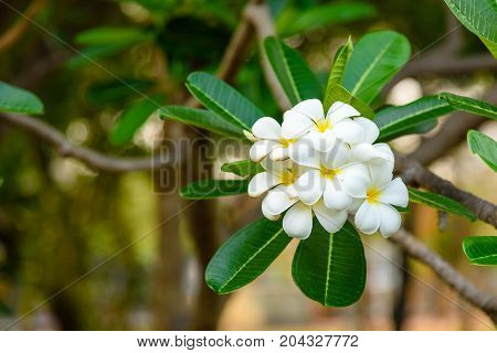 Beautiful White and yellow Frangipani flowers Apocynaceae Family