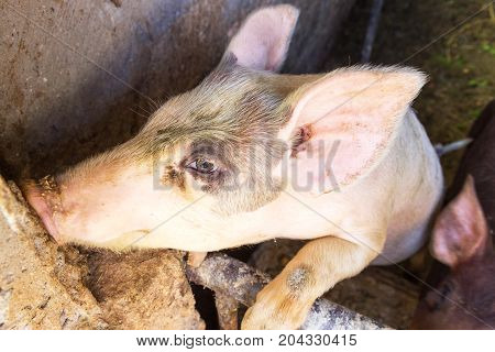 Household Small Pig Sniffs Air In Farm. Pig Farming Is Raising And Breeding Of Domestic Pigs. It Is