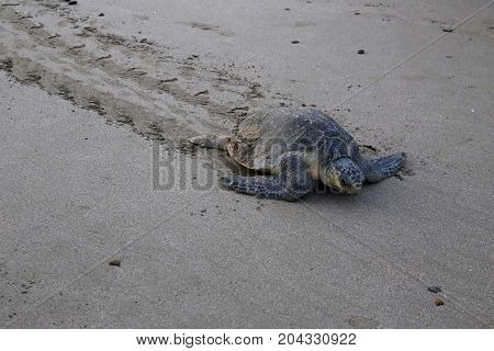 Olive ridley sea turtle on beach return to the Sea