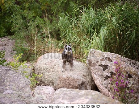 Image of zwergschnauzer at the natural view. Climbing the rock. Sport and active life concept.