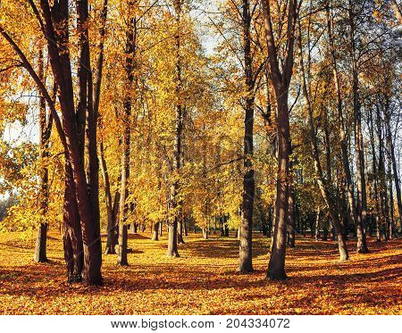 Forest fall landscape of sunny fall forest in sunny weather - yellowed fall forest trees and golden fallen fall leaves on the ground. Forest fall nature. Sunny forest fall landscape scene. Forest trees in sunlight