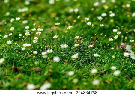 Close up small white flowers of blossoming Heath Pearlwort Lawn or Sagina subulata for natural background