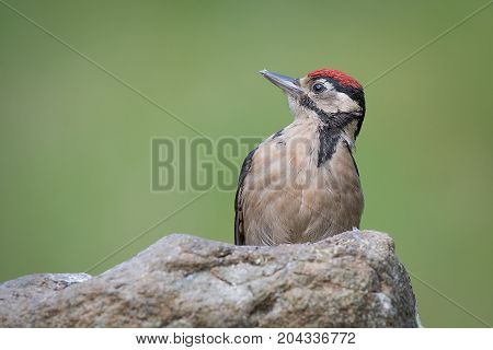 portrait of a juvenile great spotted woodpecker on a rock staring to the left against a green background