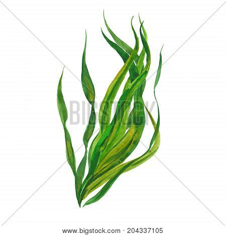 kelp seaweed, watercolor illustration  on white background