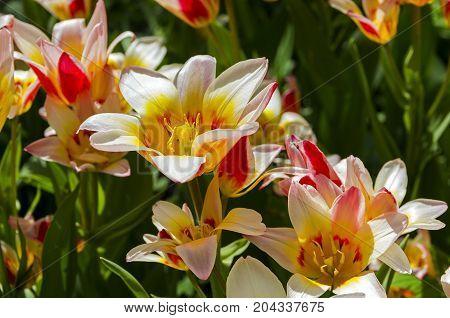 Tulips Of The Kaufmanniana Floresta Species.