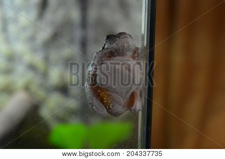 A tree frog on the glass of a tank