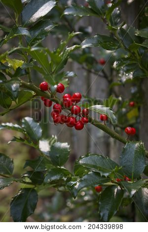 A Holly Berry bush with red berries.