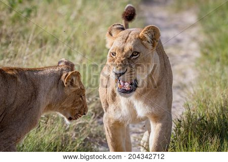 Two Lions Having A Little Argument.