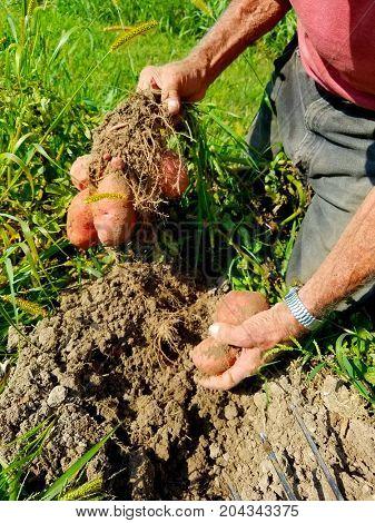 Digging Red Pontiac potatoes from Wisconsin garden