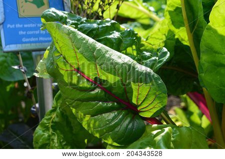 Swiss chard growing in the vegetable garden