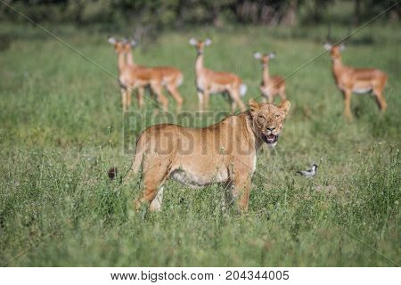 Lion Walking In Front Of A Herd Of Impalas.