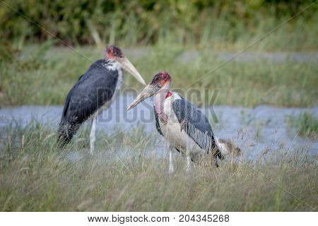 Marabou Storks Standing Next To The Water.