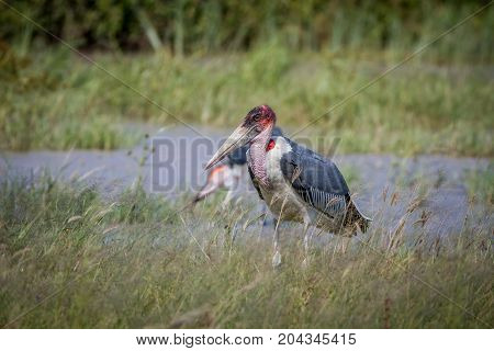 Marabou Stork Standing Next To The Water.