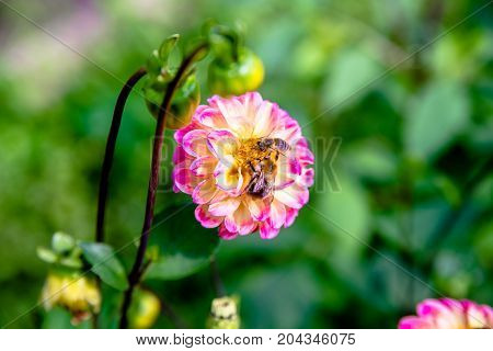two bees collect pollen from flower zinnias