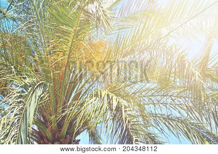 Leaves and immature dates on the top of the date palm in the daytime in the bright light of the sun's rays.