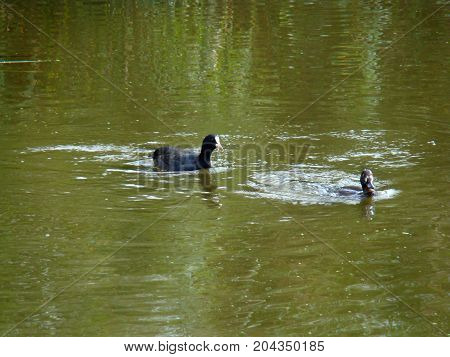 A black bird chases after a frightened duck on the river water.