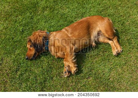 dog lying on back on green grass, mixed spaniel dogs spaniel