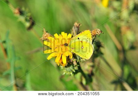 Colias erate, the eastern pale clouded yellow, is a butterfly in the Pieridae family.