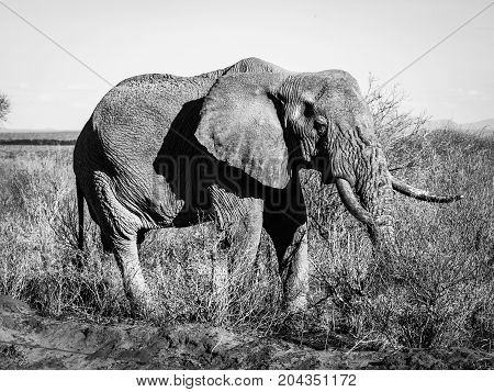 Old wrinkled elephant standing in african bush