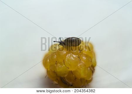 The little snail on a yellow raspberry