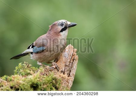 A jay perched on an old tree branch looking alert and staring to the right with a natural green background