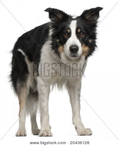 Border Collie, 5 and a half years old, standing in front of white background