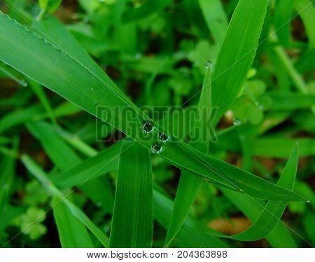 isimsiz bir otun yaprağında oluşan minik damlacıklar