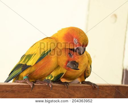 couple yellow Sun conure parrot love and take care of together lovely parrot Beautiful parrot.