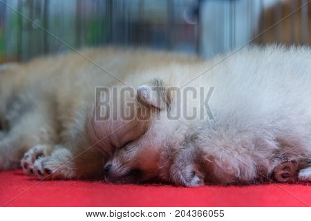 Puppy Pomeranian Breed Sleep In Cage Dog