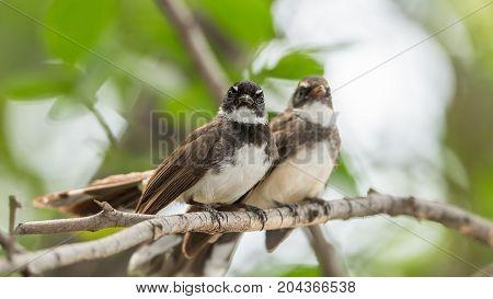 Two Birds (pied Fantail Flycatcher) In Nature Wild