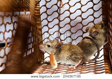 A little mouse with bread in the rat trap with white background.