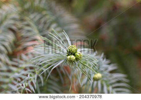 Araucaria cones. Green coniferous branch. Monkey puzzle tree. Chilean pine