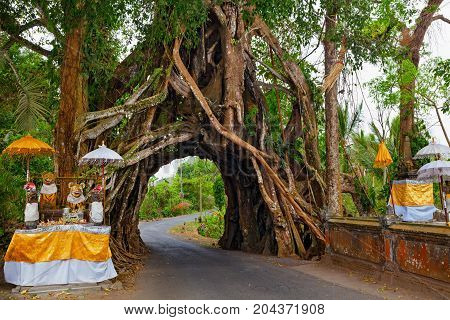 Traditional Balinese hindu temple in front of ancient evergreen ficus tree with road through natural arch in huge trunk. Travel destination of Bali island culture art objects of Indonesian people.