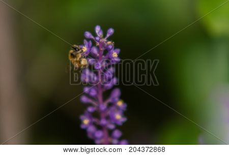 Bee Gathering Nectar From Flower
