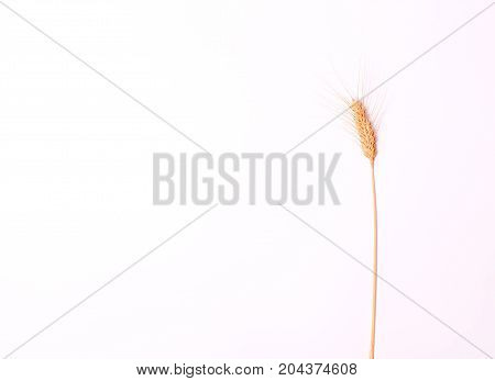 Ear on white background. Spike. Isolated background.