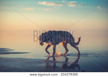 Big gray dog go in the water in the sunset light on the sky background. Irish Wolfhound